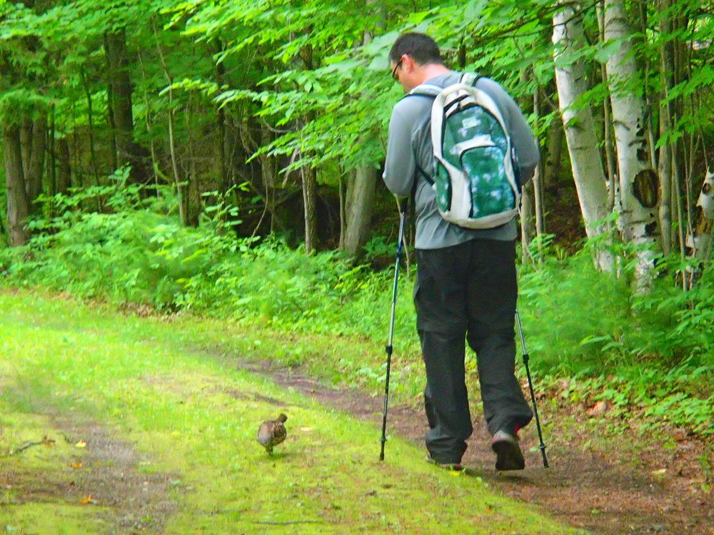 Ruffed grouse at Murphys Point Provincial Park