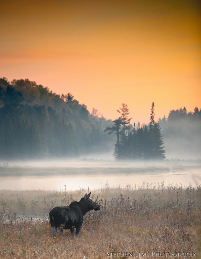 wildlife viewing - moose shot just after sunrise in Algonquin Provincial Park