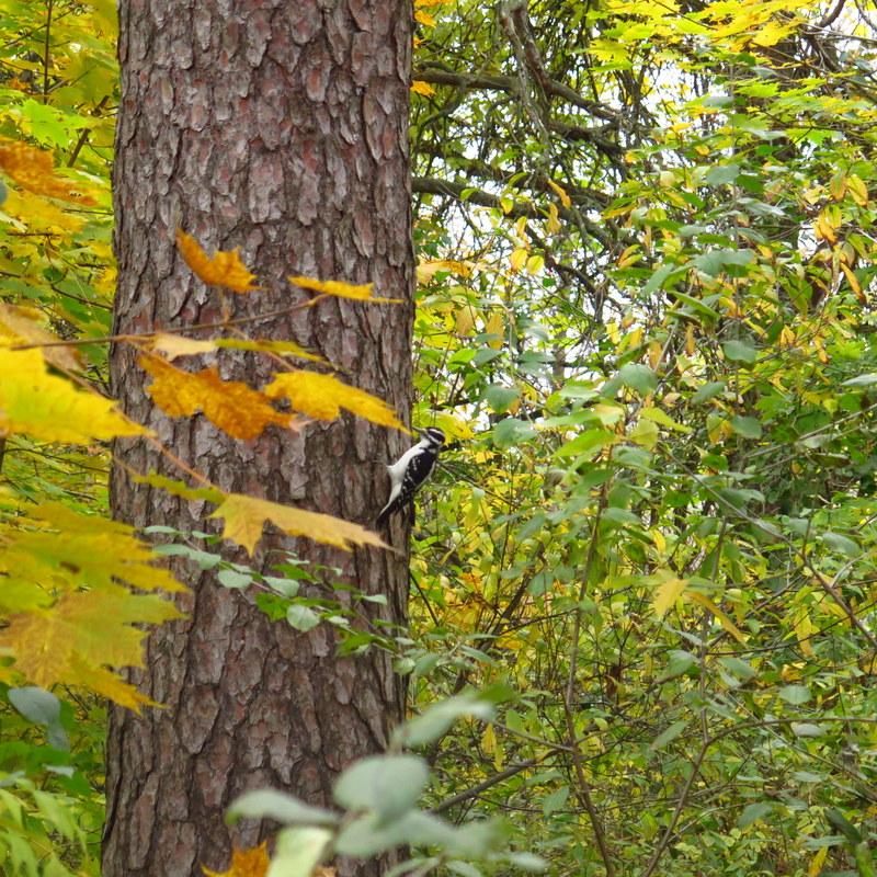 Woodpecker - High Park - Toronto