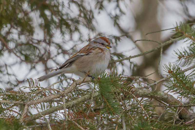 American Tree Sparrow - Winter Birding in Ontario