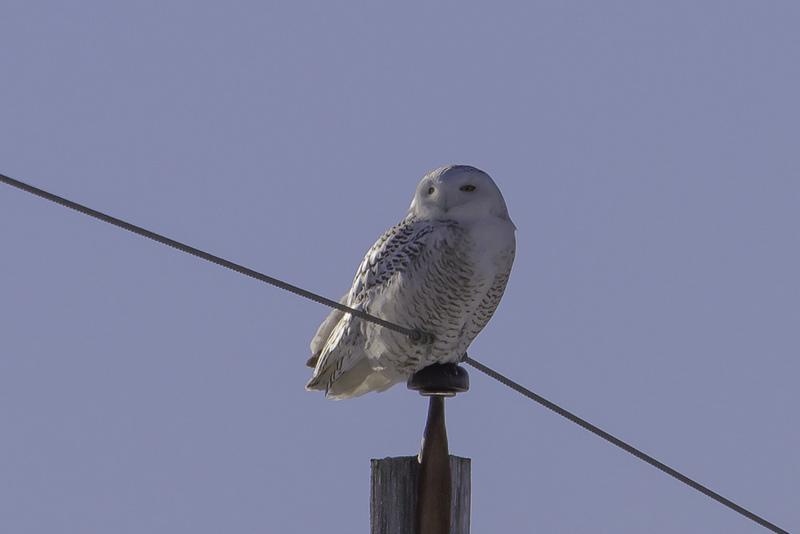 Snowy Owl - Ontario winter birding